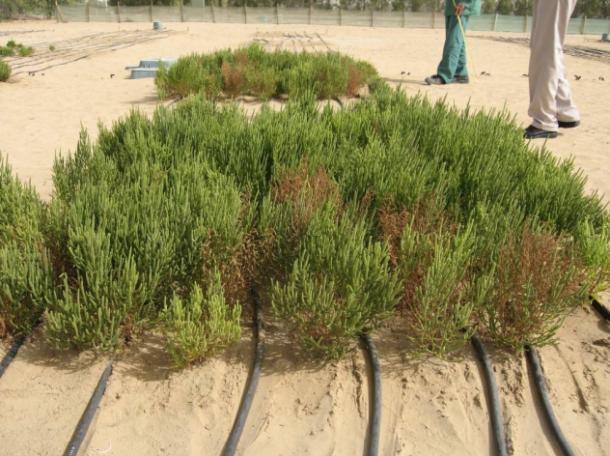 biocombustible a partir de plantas del desierto biocombustible a partir de plantas del desierto