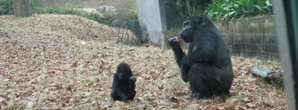Un experimento logra que un mono controle los movimientos de otro
