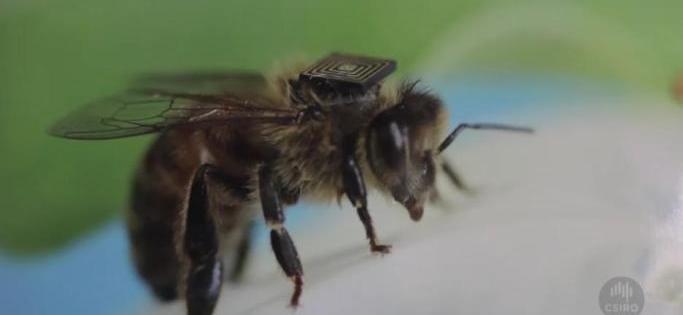 Colocan etiquetas RFID en abejas para controlar el medioambiente