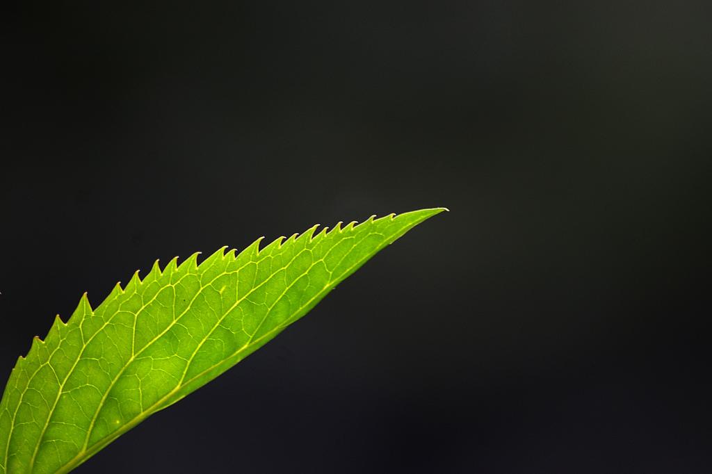 Plantas para curar la 'enfermedad real'