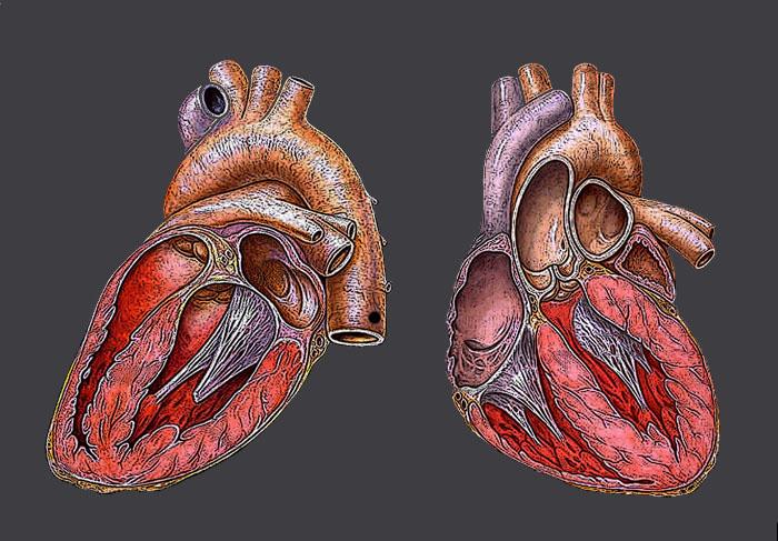 Científicos españoles estudian cómo reparar el corazón tras un infarto