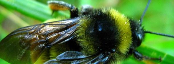 Etiquetas RFID sobre abejas para resolver la desaparición de colmenas