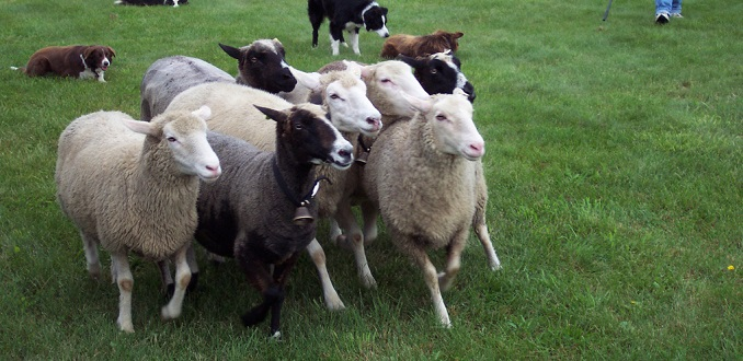 Los drones ya se usan para pastorear ganado