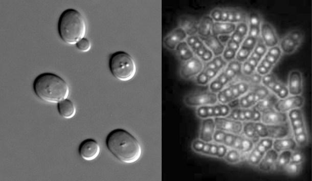 claras de huevo artificiales