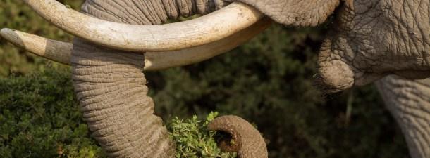 Una librería de ADN para combatir el comercio ilegal de marfil en Kenia