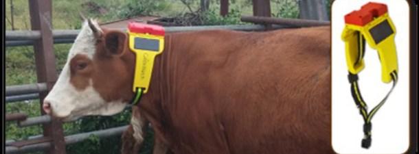 Las vacas conectadas también usan wearables