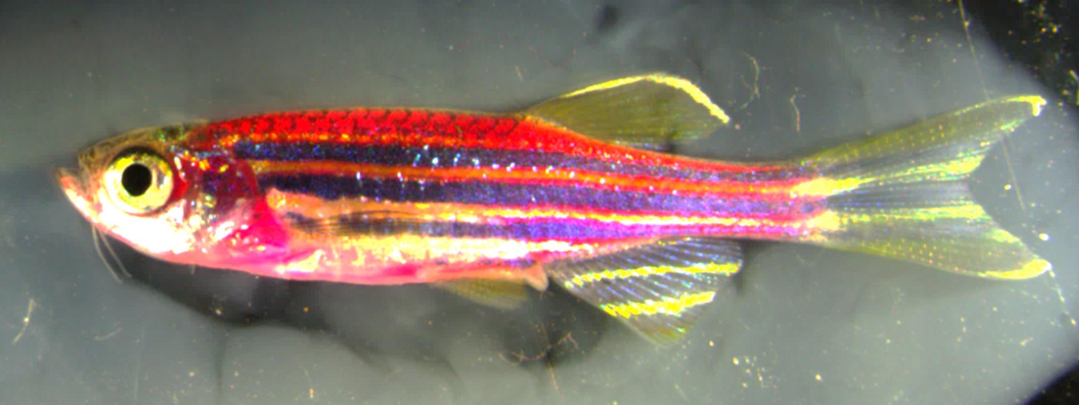 Crean el pez Technicolor para saber cómo cicatriza la piel