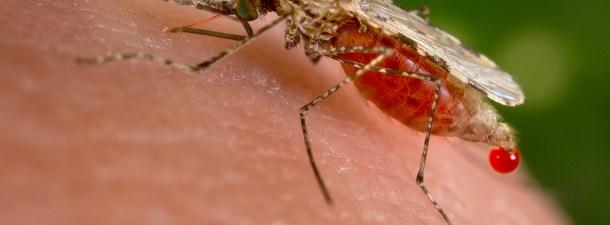 Mosquitos inmunes al dengue para frenar la enfermedad
