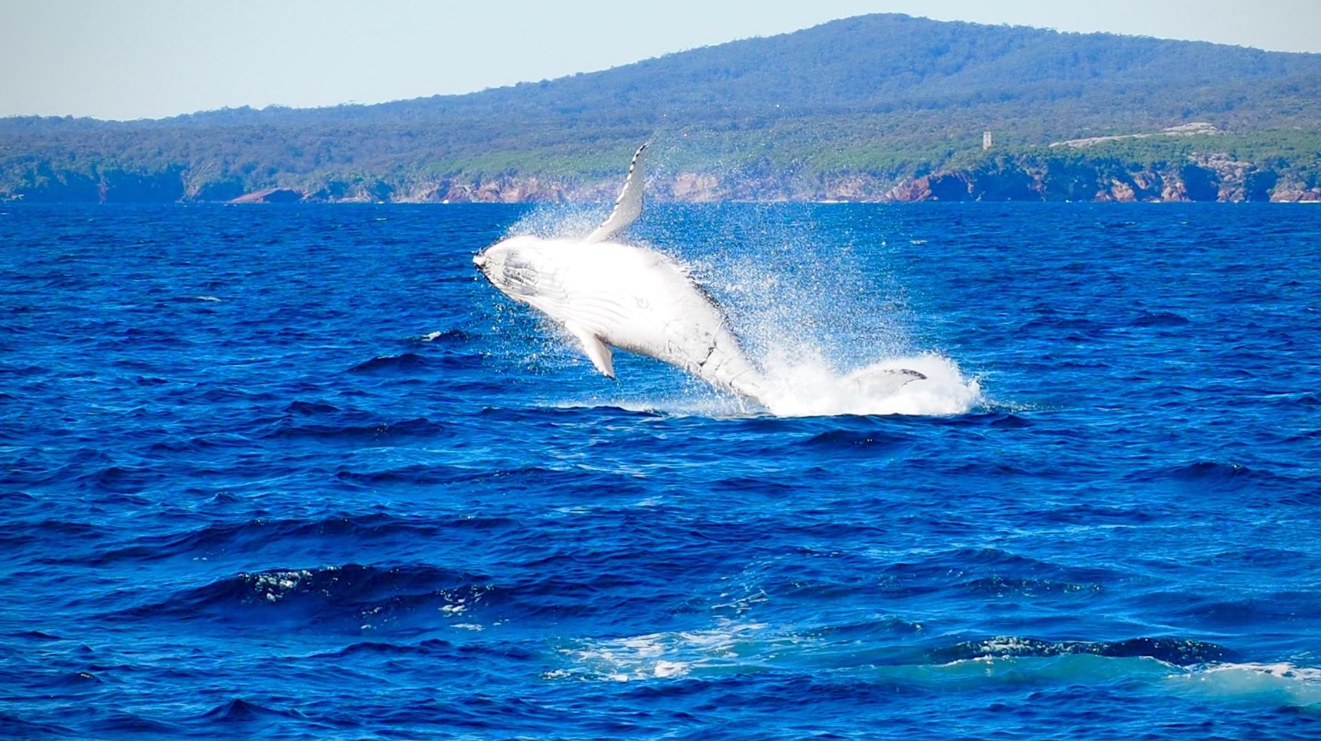 Drones para descubrir los secretos de la ballena boreal