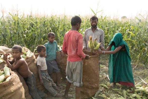 Revolución verde en India