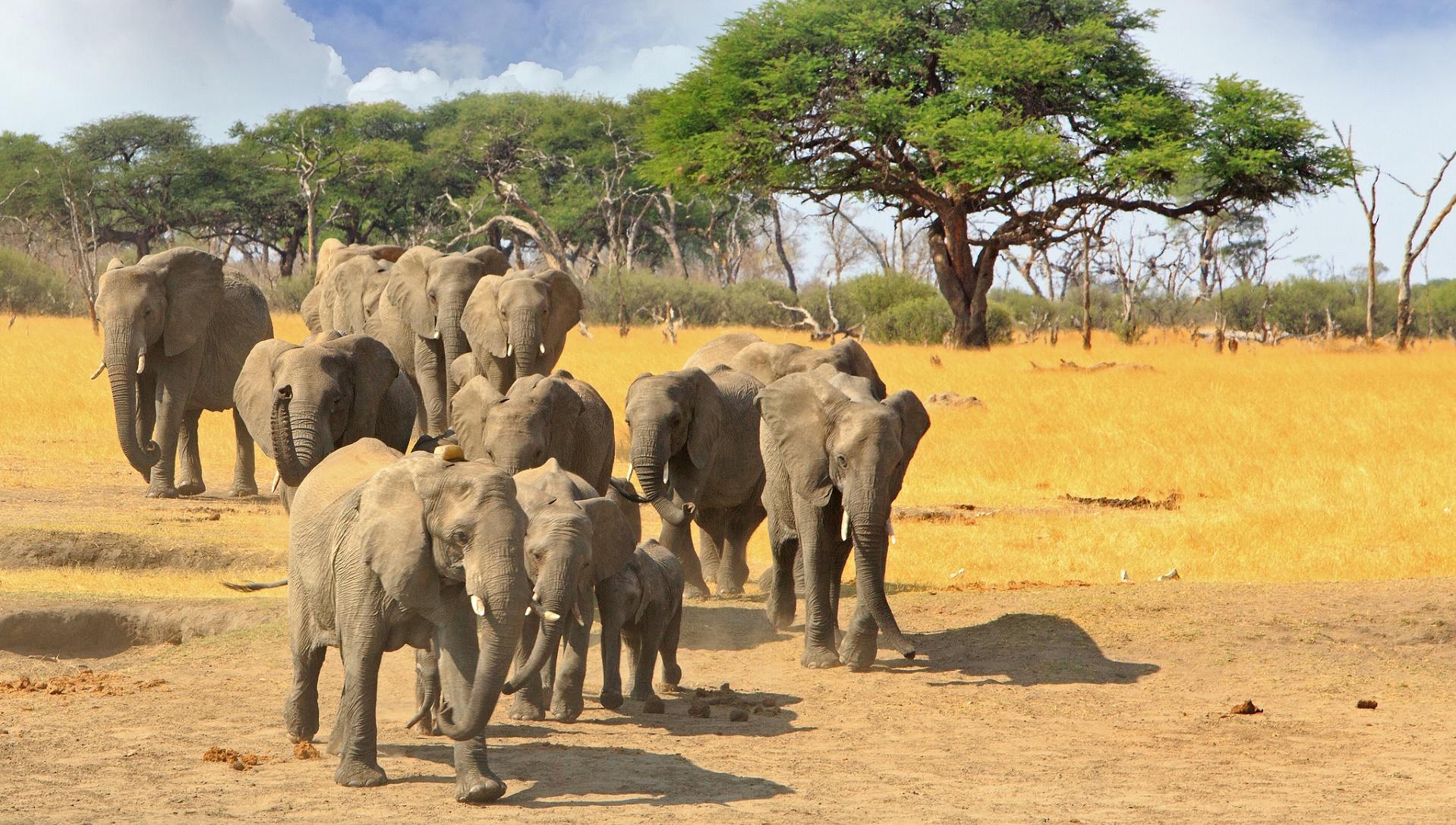 Cómo los drones están pastoreando elefantes para evitar su caza
