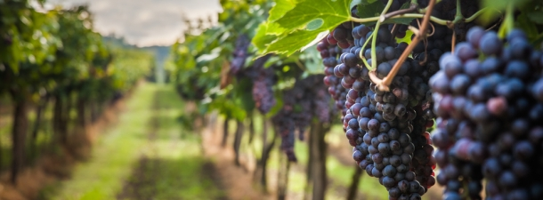 Tecnologías que salvan cosechas de vino