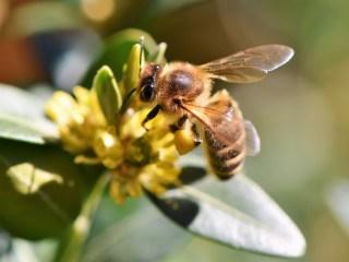 aplicación abejas