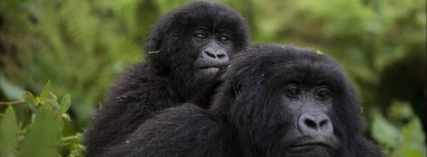 Reconocimiento facial para proteger primates en peligro de extinción