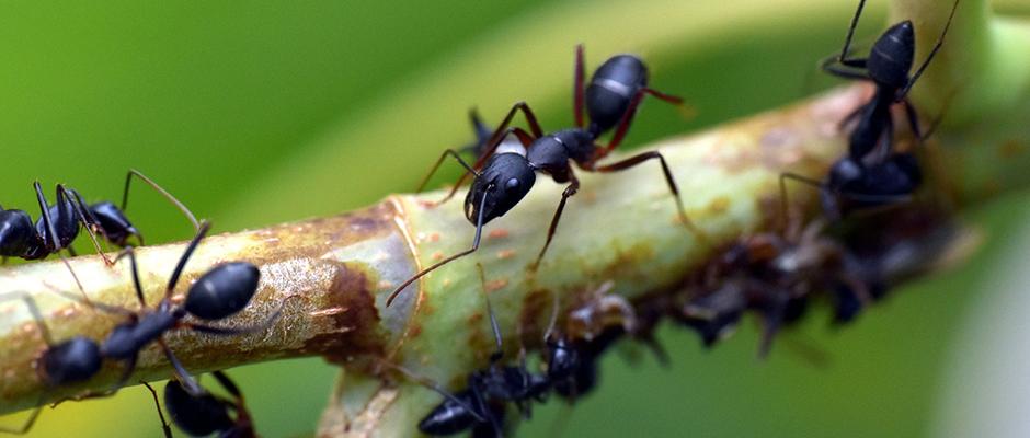 hormigas atascos