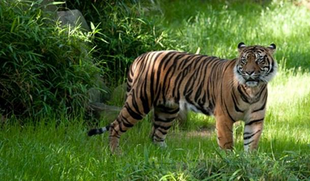 inteligencia artificial foto tigre