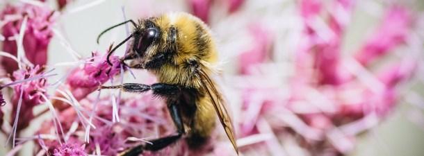 Adosan un sensor a las abejas para monitorizar los cultivos