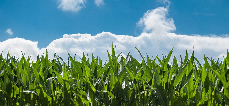 maiz campo materia prima biocombustibles - Blogthinkbig.com
