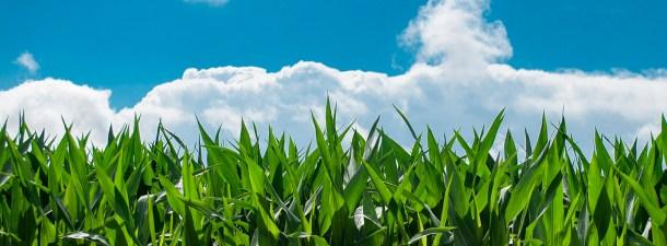 El maíz, materia prima para la creación de biocombustibles