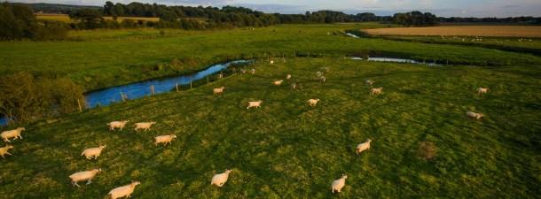 En Nueva Zelanda ya usan drones para pastorear rebaños