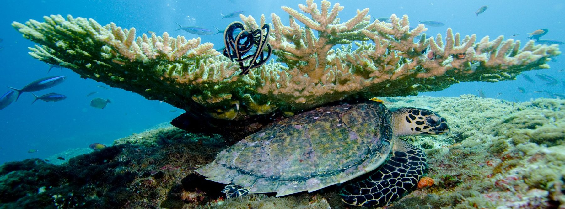 La Gran Barrera de Coral australiana está en peligro