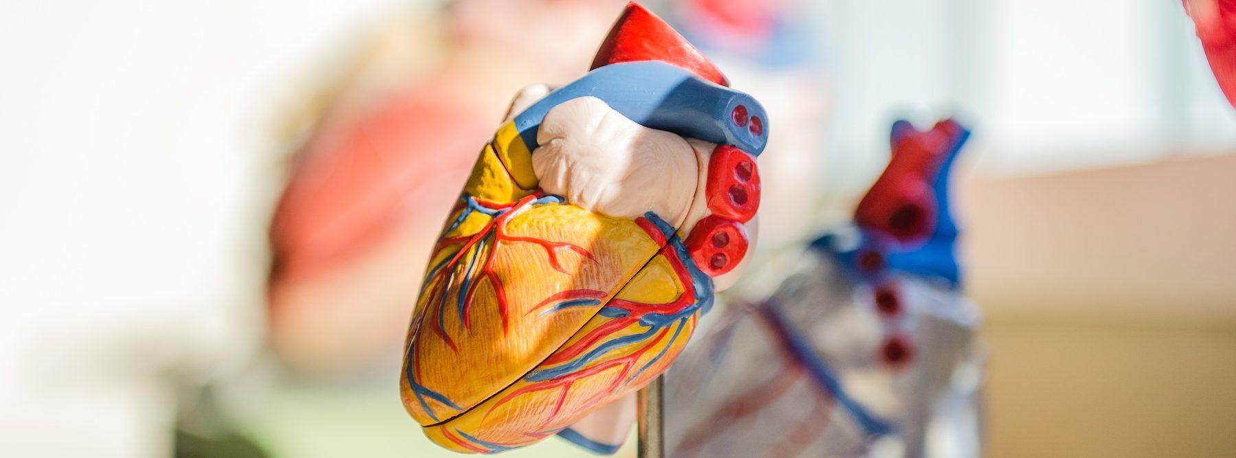 Fabrican un corazón vivo con una impresora 3D