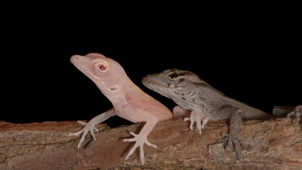 Conoce a los primeros reptiles modificados genéticamente