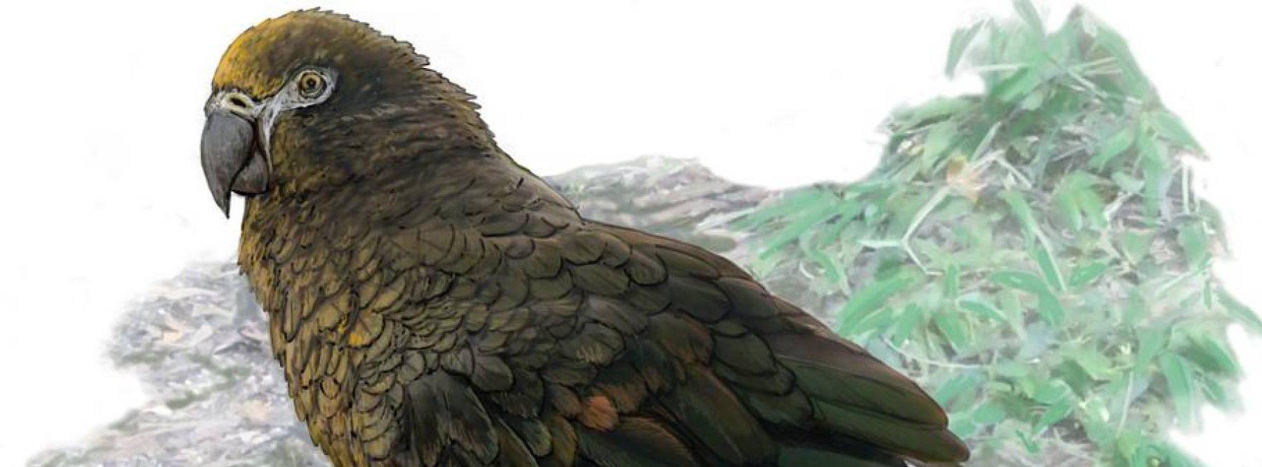 Han sido descubiertos los restos de un loro gigante prehistórico