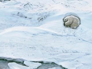 osos polares hielo polos animal