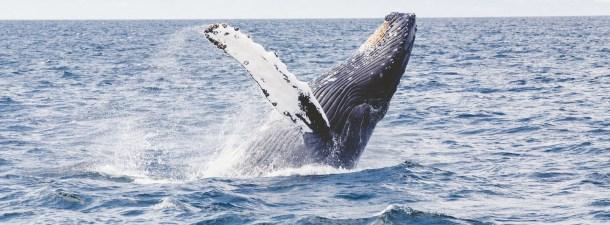 Por qué las ballenas son un arma maestra para combatir el cambio climático