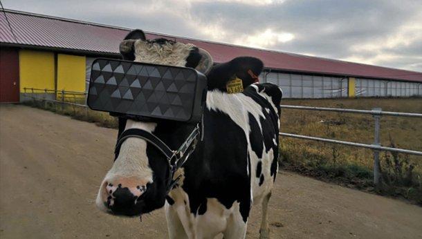 realidad virtual a las vacas