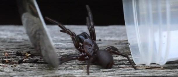 arañas Australia plaga