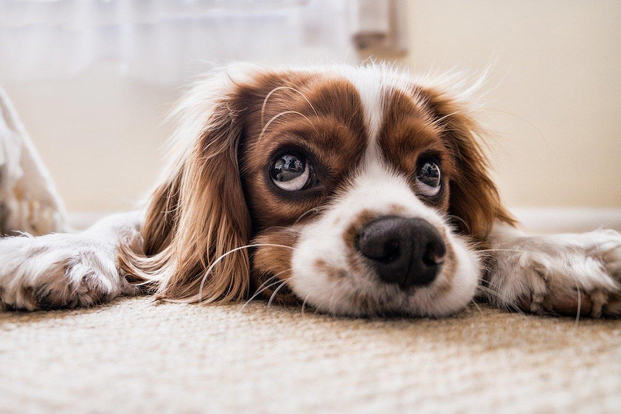 ¿Todos los perros pueden entender a los humanos?