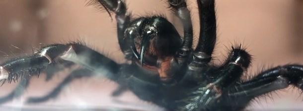 El lado positivo que puede tener la plaga de arañas en Australia