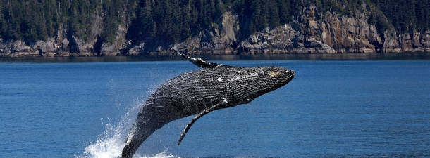 La población de ballenas jorobadas crece de 450 a 25.000 en el Océano Atlántico Sur