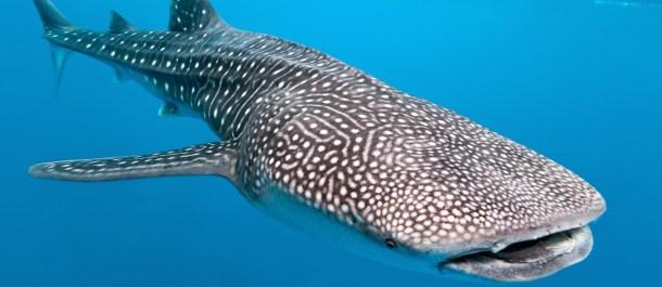 tiburon ballena animales grandes mundo