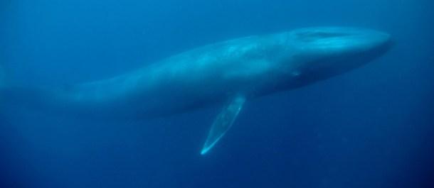 ballena azul animales grandes mundo