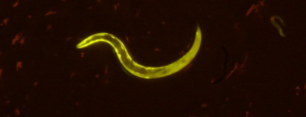 alargan vida de gusanos