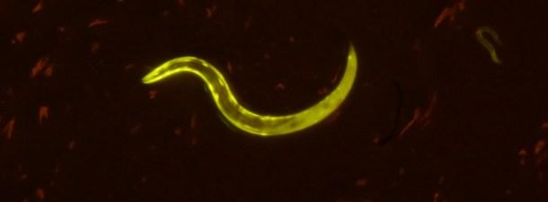 Consiguen alargar la vida de unos gusanos un 500%