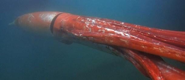 calamar gigante animales grandes mundo