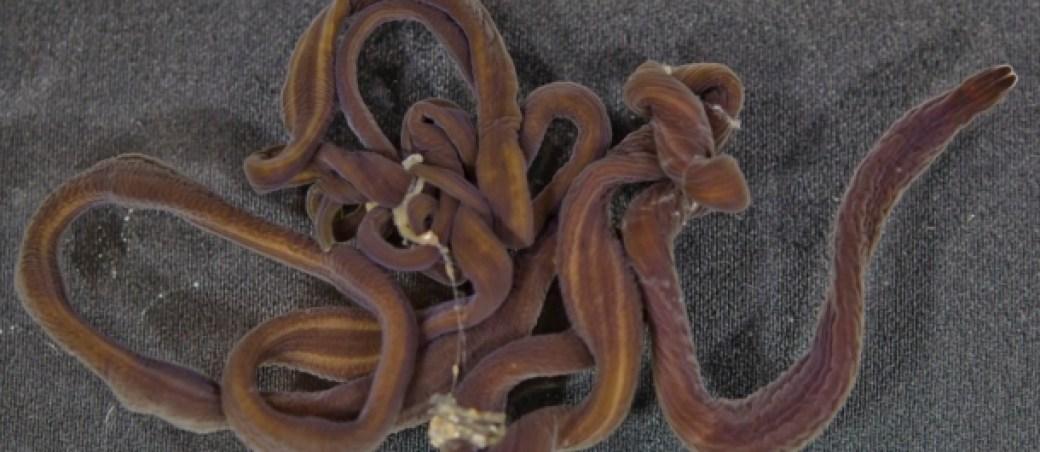 gusano cordon de bota animales grandes mundo