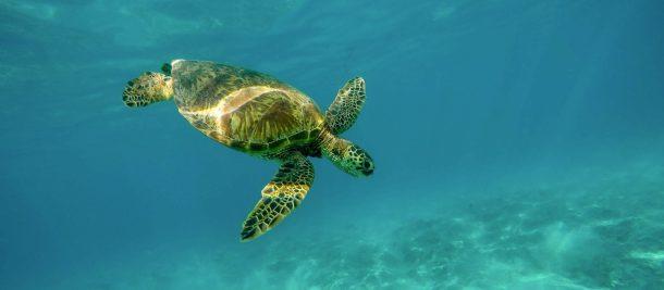 Tortugas, oceano