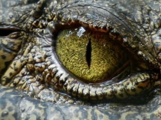 Cocodrilo animales peligrosos del mundo