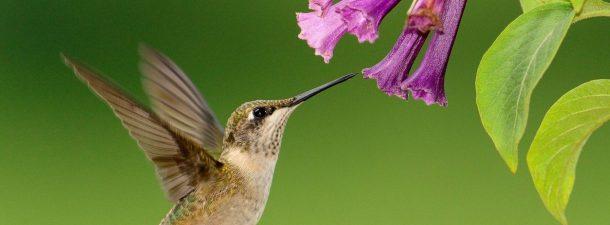 El colibrí, el animal que puede ver colores inimaginables