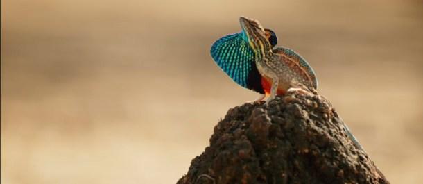 lagarto-ventilador-colores-siete-mundos-un-planeta.asia