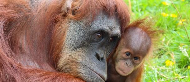 orangutan-asia