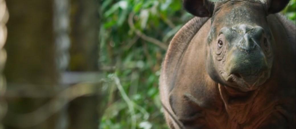 rinoceronte-sumatra-siete-mundos-un-planeta-asia