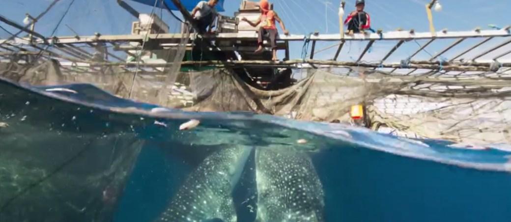 tiburon-ballena-siete mundos un planeta asia