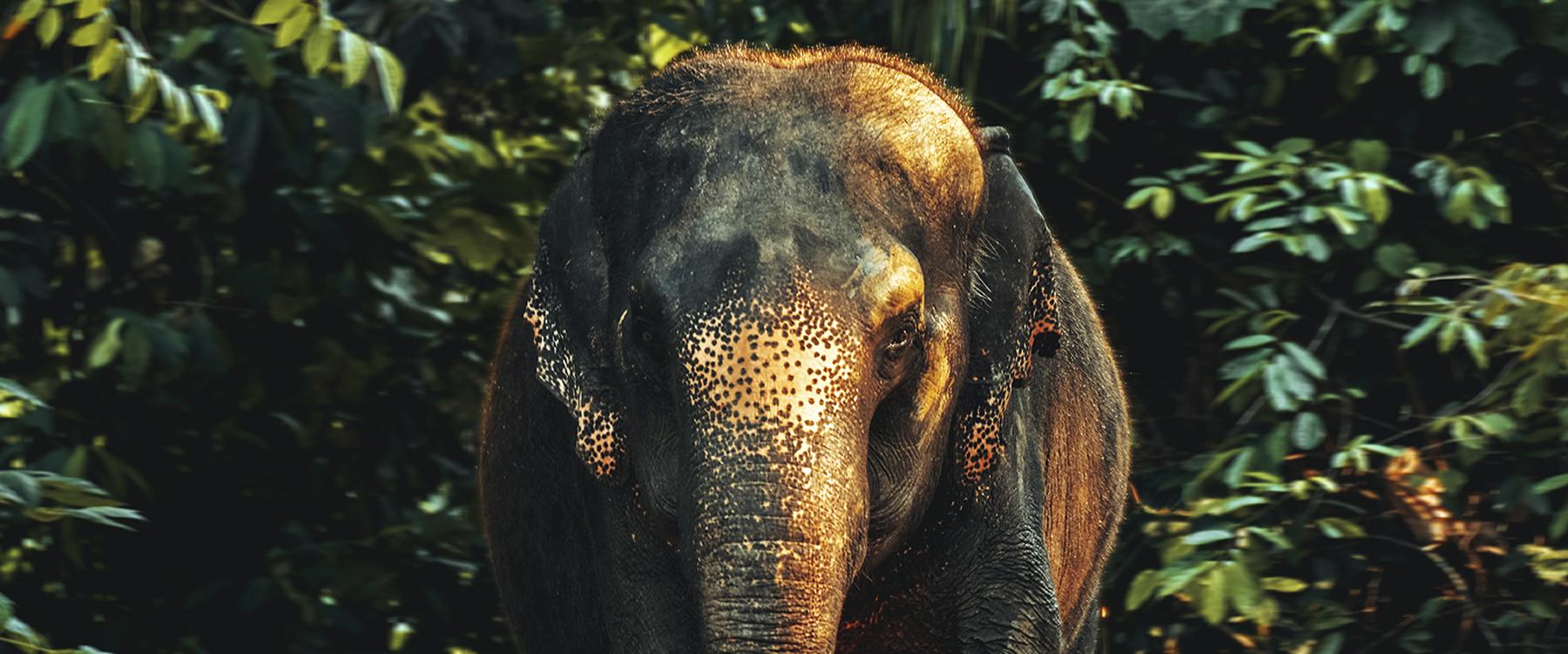 Los elefantes asiáticos en cautiverio aumentan debido al auge del turismo irresponsable