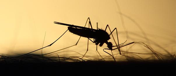 mosquitos hembra sangre